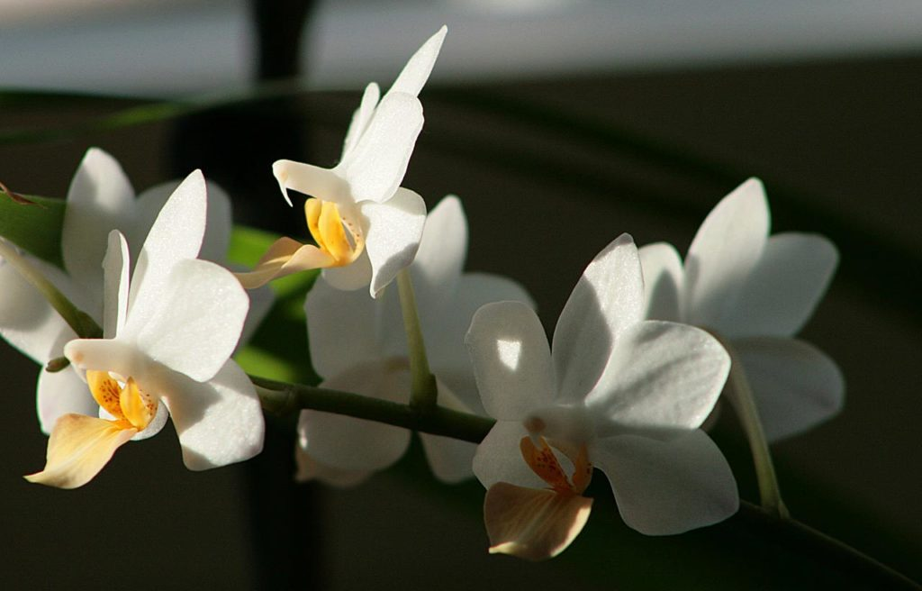 growing orchids